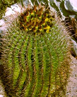 Barrel Cactus of the Chihuahuan Desert!
