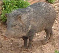 Javelina/Peccary of the ChihuahuanDesert!