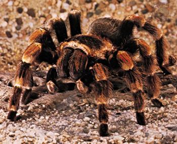Tarantula of the Chihuahuan Desert!