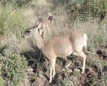 White Tailed Deer of the Chihuahuan Desert!