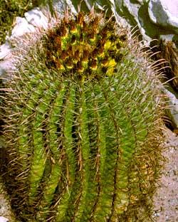 Barrel Cactus of the Chihuahuan Desert!