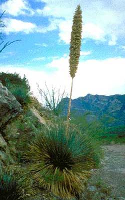 Sotol Plant of the Chihuahuan Desert!